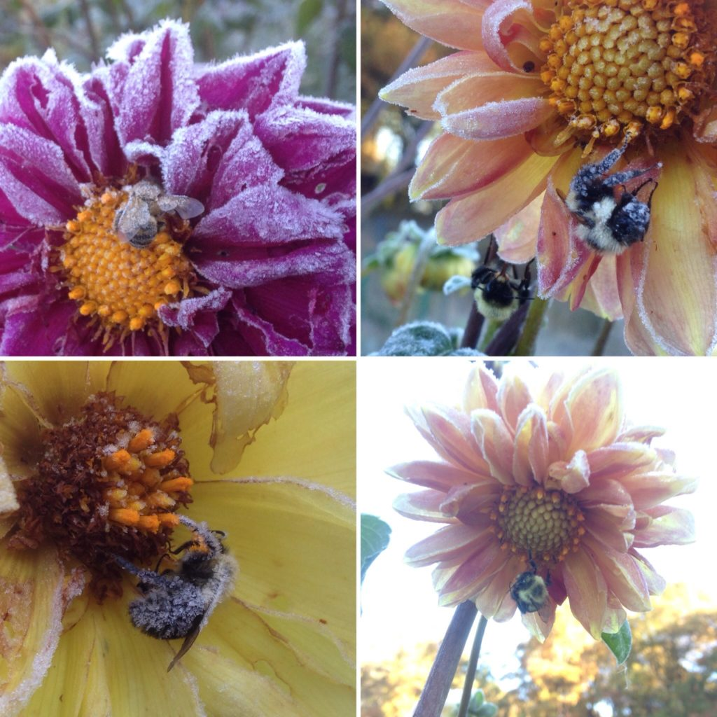 frosted bees probably are even more eager for sunrise than the farmers