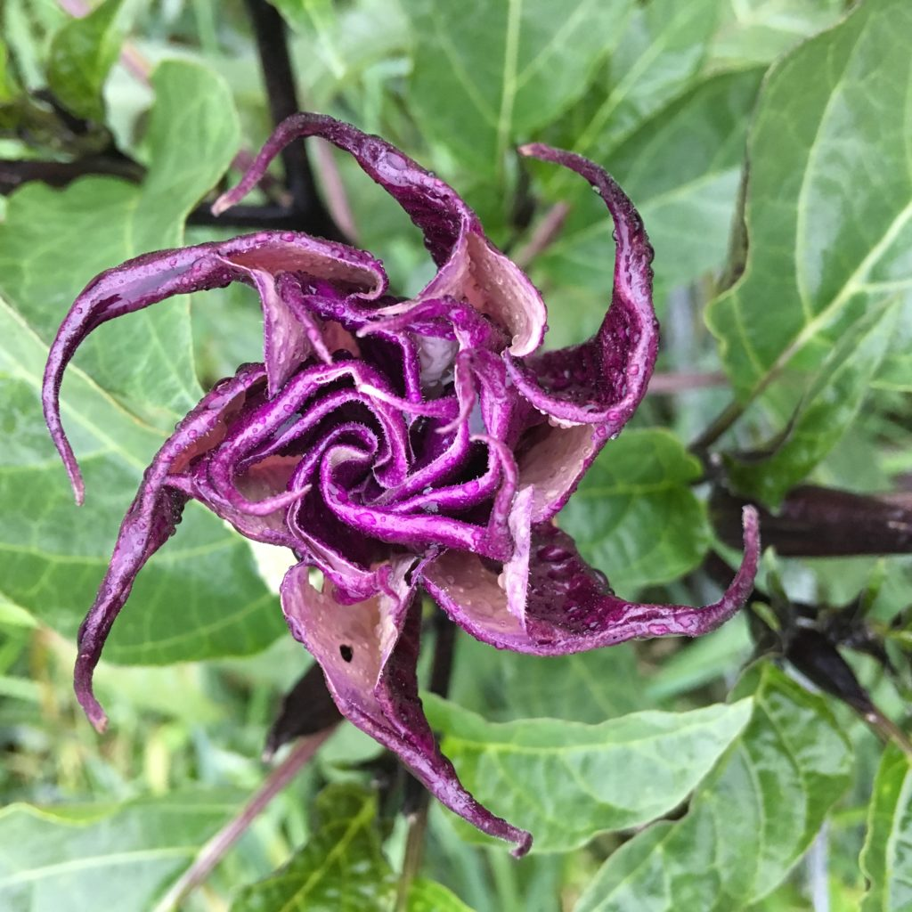 a Datura flower unfolding like origami