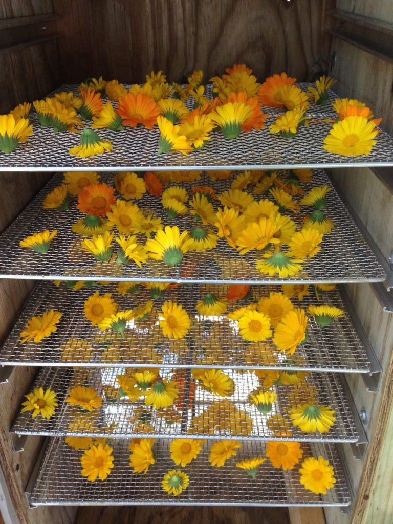 calendula drying in the solar dehydrator