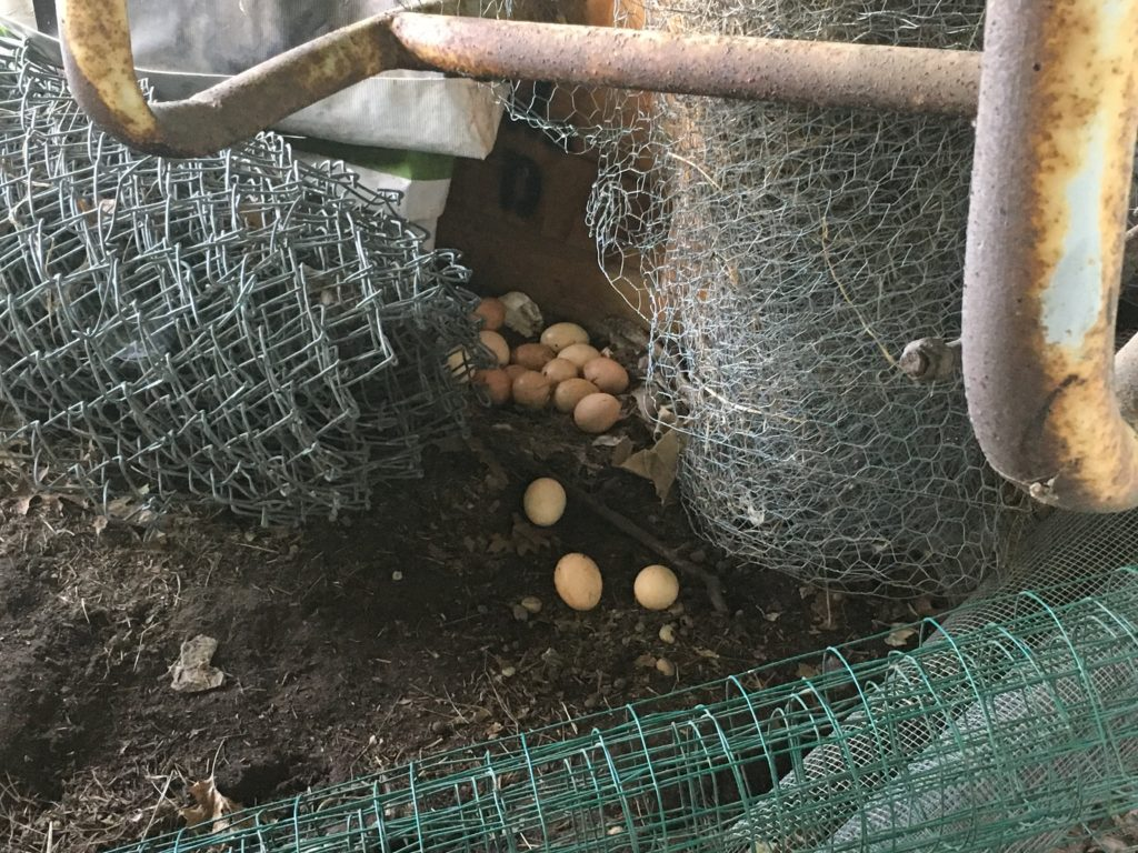 figured out why we were hardly getting any eggs ...