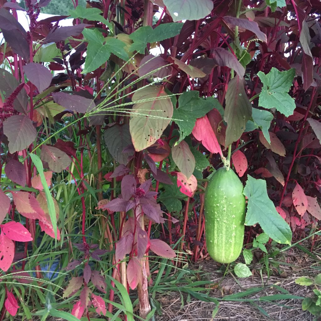 a massive sneaky cuke hanging out with the amaranth