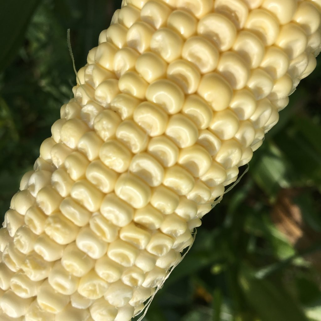 Dent corn - if your sweet corn looks like this, you've been struck by the cross-pollination gremlins SAD FACE