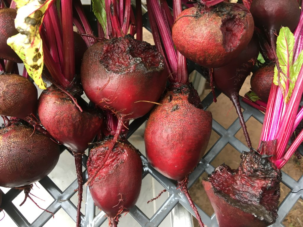 vole-damaged beets for us to eat