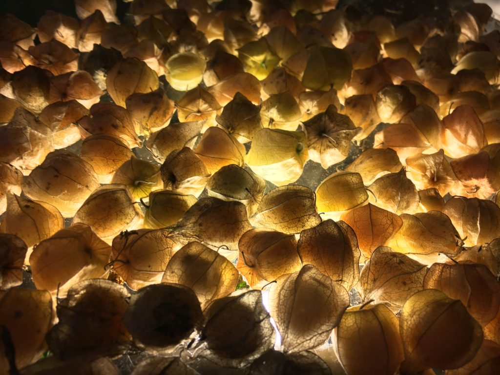 using a light beneath the glass table to determine which ground cherries to keep and discard