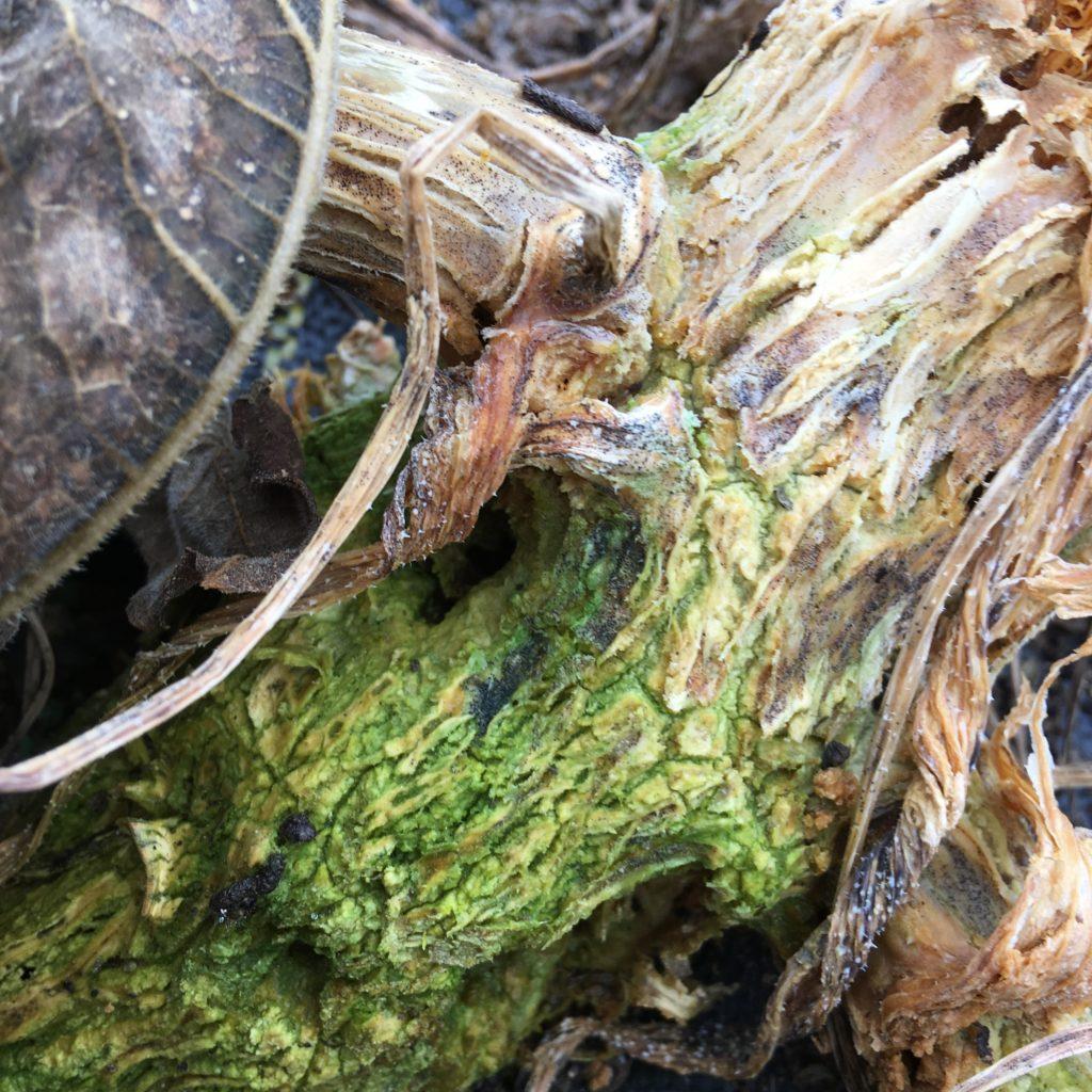 Cthulian squash vine