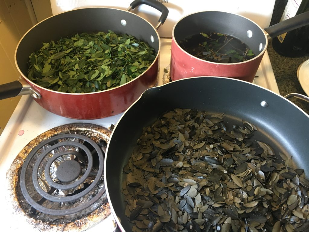 making Black Drink from foraged Yaupon Holly leaves