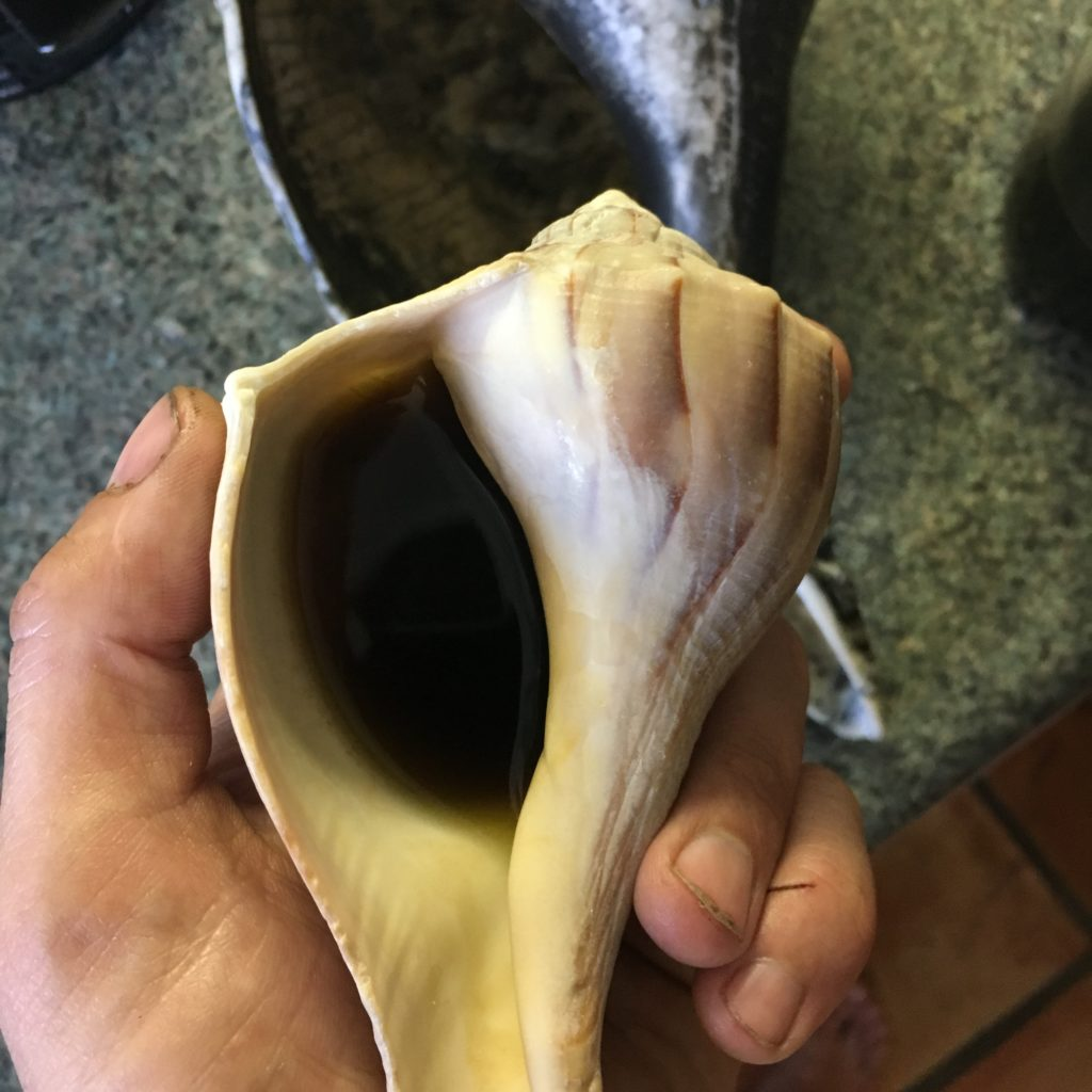 "Yaupon Holly tea (""Black Drink"" - the only native north American plant with caffeine) in a traditional lightning whelk drinking cup"