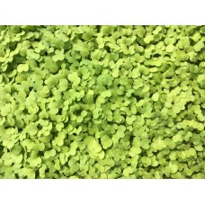 Turnip micro greens (1/2 pint)